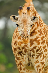 ADS_Kenya_000035856 (dickysingh) Tags: face giraffe africakenyasafariwildwildlifenairobinationalpark