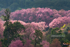 Thai Sakura Flower at Chiang Mai, Thailand (ANUJAK JAIMOOK) Tags: road pink sky flower tree nature beautiful cherry landscape thailand outdoors japanese colorful blossom scene petal mai thai sakura chiangmai chiang ornamental blooming prunus doi suthep thaisakura cerasoides