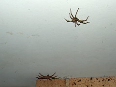Sparassidae Huntsman spider DSCF7288 (Bill & Mark Bell) Tags: exmouth westernaustralia australia geo:town=exmouth geo:state=westernaustralia geo:country=australia geo:lon=11425453egeolat2217752sgeoalt8m 11425453e2217752salt8m taxonomy:kingdom=animalia animalia taxonomy:phylum=arthropoda arthropoda taxonomy:class=arachnida arachnida taxonomy:order=araneae araneae taxonomy:superfamily=sparassoidea sparassoidea taxonomy:family=sparassidae sparassidae taxonomycommonnamehuntsmanspider huntsmanspider spider animal fauna