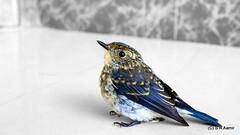 Ultramarine Flycatcher (S R Aamir) Tags: india nature birds fauna wildlife himalayas jk kishtwar nikon1855mm ultramarineflycatcher ficedulasuperciliaris nikond5100 flickrandroidapp:filter=none