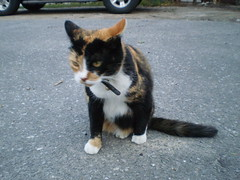 Autumn (universalcatfanatic) Tags: autumn orange cats white black green eye grass cat concrete gold grey golden eyes sitting bell pavement parking gray lot tire tortoiseshell tires driveway sit calico tortie collar