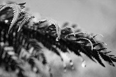 (Doodles N' Dabbles) Tags: blackandwhite plant fern nature rain drop dewdrop evergreen dew raindrop dropelet