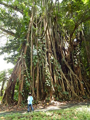 Landscape of Tree & roots (Muhammad Ihsan Dardoum) Tags: park tree nature forest garden giant indonesia botanical big ngc roots canary root banyan bogor beringin