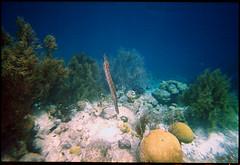 TrumpetFish (Chris Protopapas) Tags: film coral underwater reef bonaire trumpetfish itsnotacapture