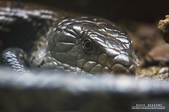 Blue Tongued Skink (DMeadows) Tags: world blue tourism animal animals butterfly insect scotland edinburgh reptile wildlife tourist lizard captive attraction captivity skink tongued davidmeadows dmeadows davidameadows dameadows