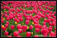 Red Tulips, Atlanta Botanical Gardens (MR MARK | photography) Tags: atlanta red flower field yellow ga georgia spring tulips tulip atlantabotanicalgardens