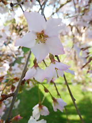 Conjunction (Steve Taylor (Photography)) Tags: pink white flower green beautiful sunshine cherry spring pretty branch cross blossom style sunny petal stigma calyx filament sepal