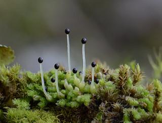 Lophozia incisa (ragged-leaf liverwort)