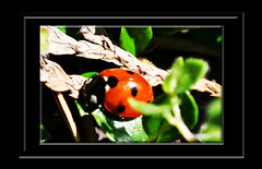 Ladybird (littlestschnauzer) Tags: uk red black macro nature animals garden spring nikon yorkshire small insects spot seven elements april ladybird ladybug spotted winged 2014 d5000