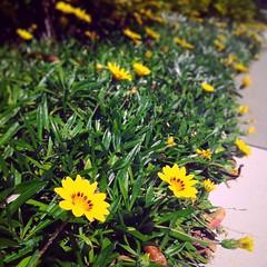 Gold Coast / Australia (haphopper) Tags: flowers green me nature yellow australia qld queensland iphone goldcoast 2014 ool