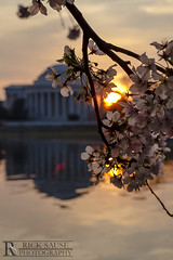 Jefferson Memorial with Cherry Blossoms at Sunrise