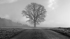 tree (schneider-lein) Tags: mono monochrome monotone grau grey fog foggy misty hazy smokey tree field street landschaft landscape natur nature blackwhite schwarzweiss hittnau schweiz switzerland suisse svizzera fe9028macrogoss sonyilce7rm2 alpha7rm2 a7rii