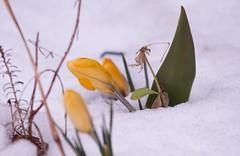 Brave Little Flower (robinlamb1) Tags: flower bloom blossom outdoor snow crocus signofspring yellpw aldergrove bc