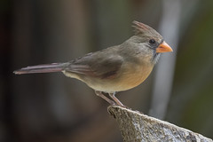 Mrs Cardinal (Peter Stahl Photography) Tags: northerncardinal female maui hawaii wailea
