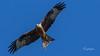 nibbio reale (Tonpiga) Tags: tonpiga uccelliinlibertà faunaselvatica rapace predatore nibbioreale redkite milvusmilvus