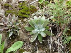 Sedum/dudleya?3-25-2017.Santa Clara Co.,CA(China Hole,Henry Coe SP,near Morgan Hill).