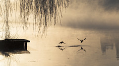 L'envol matinal (liofoto) Tags: canon eos6d sigma70200 seine rivière river fleuve herblay val doise france canard duck mallard brume brouillard fog foggy soleillevant soleil sun sunrise reflets reflections