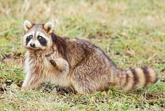 raccoon with canine distemper near Lake Meyer Park IA 854A7157 (lreis_naturalist) Tags: raccoon canine distemper glowing green eyes symptom lake meyer park winneshiek county iowa larry reis