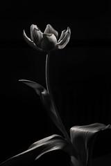 Tulip's End (www.alexjphotography.co.uk) Tags: flowers stilllife monochrome blackandwhite bw tulips offcameraflash nikon 50mm18 highspeedsync petals leaves contrast light shadow silverefex
