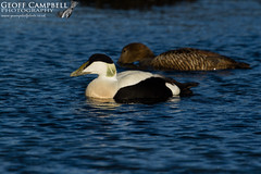 Common Eider (Somateria mollissima) (gcampbellphoto) Tags: common eider somateria mollissima seaduck bird nature wildlife atlantic north antrim northern ireland avian gcamobellphoto animal outdoor water