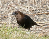 Brown-headed Cowbird (jaybirding) Tags: animal bird leicavlux114 maine me nature outdoor rossmore stormer brunswick us