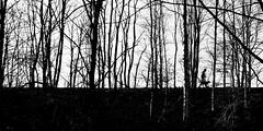 walking the dog (pix-4-2-day) Tags: trees bäume man walking dog mann hund gassi gehen damm monochrome schwarzweis blackandwhite black white outside drausen silhouette