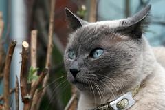 Spring cat (katjacarmel) Tags: chat blue eyes cat kat gato animal spring pet portrait macro closeup dier