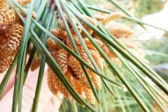 nueva flor (salva.al) Tags: flor arbol pino