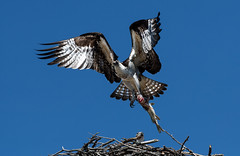 Osprey (Watchdog Images) Tags: d500 nikon nature nikkor nikond500 dx