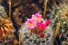 Eriosyce senilis v.nidus (zmei4o) Tags: cactus eriosyce neoporteria neochilenia pink flower