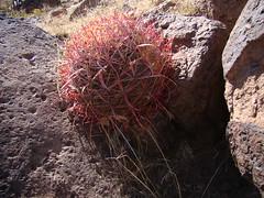 Ferocactus cylindraceus  DSC00222 (sierrarainshadow) Tags: ferocactus cylindraceus dry wash new york mountains mojave national preserve