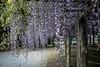 DSC_1644 (sayo-tsu) Tags: 埼玉県 春日部市 kasukabe saitama wisteria 藤 特別天然記念物 牛島のフジ