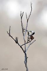 Chickadee on Sumac. (Gillian Floyd Photography) Tags: chickadee small bird sumac