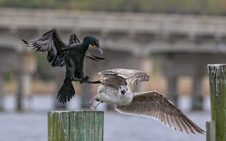 Double-crested cormorant & Gull