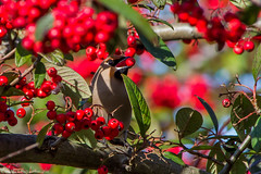 Bohemian Waxwing (Bombycilla garrulus) (BiteYourBum.Com Photography) Tags: dawnandjim dawnjim biteyourbum biteyourbumcom copyright©2017biteyourbumcom copyright©biteyourbumcom allrightsreserved canoneos7d canonefs60mmf28macrousm sigma50500mmf4563dgoshsm canonef1740mmf4lusm apple imac5k lightroom5 ipadair appleipadair camranger lrenfuse focusstacking polaroidautofocusdgmacroextensiontubes manfrotto055cxpro3tripod manfrotto804rc2pantilthead loweproprorunner350aw uk unitedkingdom gb greatbritain england hove brightonandhove brightonhove sussex eastsussex bohemian waxwing bombycilla garrulus bohemianwaxwing bombycillagarrulus
