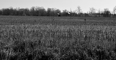 Breaking the Rules (linda_lou2) Tags: 52weeksof2017 week15 themebreakingthecompostionrules categorytechnique 117picturesin2017 themeno48 breaktherules country landscape monotone blackandwhite field indiana