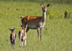 Oostvaardersplassen (Hans van der Boom) Tags: nederland netherlands ijsselmeerpolders flevopolder oostvaarderplassen animal doe deer young mother lelystad nl