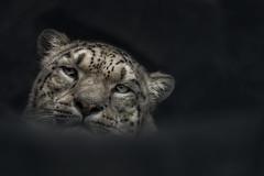 so tired (Blitzknips) Tags: sonya77 a77 alpha77 animal tier tierparkberlin tierpark tierportrait animalportrait leopard schneeleopard snowleopard raubtier raubkatze predator katze cat closeup augen säugetier mammal