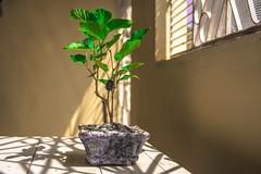 amoreira (ed_limma) Tags: blackberry bonsai amora amoreira
