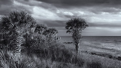 Shoreline (Tim Ravenscroft) Tags: shore palms beach sea caspersen florida monochrome blackwhite hasselblad x1d hasselbladx1d