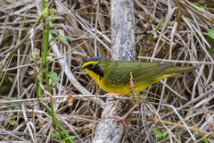 Fort De Soto Park male Kentucky Warbler 04-17-2017 (5 of 5) (Jerry's Wild Life) Tags: florida fortdesoto fortdesotopark ftdesoto ftdesotopark kentucky kentuckywarbler pinellascounty pinellascountypark songbird songbirds warbler malekentuckywarbler