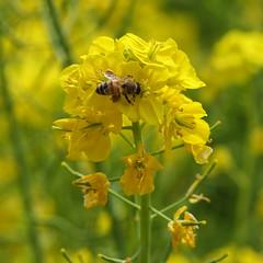 Busy bee (Nihon Zaichuu Scotto) Tags: bee bugs photowalking