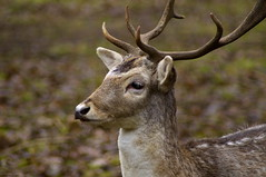 Daim (Phil du Valois) Tags: daim faune sauvage geresme wild wildlife