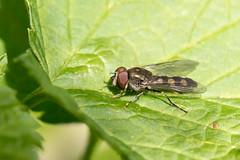 Platycheirus scutatus / Gewoon Schaduwplatvoetje (peter.lindenburg) Tags: hoverfly syrphidae zweefvlieg stevenshof leiden platycheirusscutatus gewoonschaduwplatvoetje