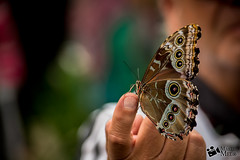 Posando (Martín Melo Garay) Tags: mindo ecuador allyouneedisecuador pichincha nature naturaleza butterfly mariposa alas libre nikon nikond610 d610 fx