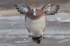 Canard d'Amérique (m) / American wigeon (m) (Sammyboy77) Tags: americanwigeoninflight canarddamériqueenvol anasamericana parcdelamercimontreal aquaticduck bird sammyboy77