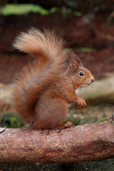 Red Squirrel (blootoonloon1( No to Badger Cull)) Tags: red squirrel animal nature wildlife portrait scotland highlands beauty posing