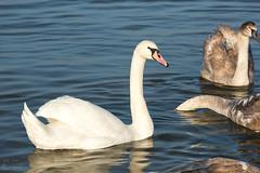 Лебеди (klgfinn) Tags: balticsea coast reflection sea swan water winter балтийскоеморе берег вода зима лебедь море отражение