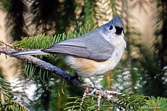 Tufted Titmouse (Anne Ahearne) Tags: tufted titmouse spruce tree cute bird birds animal animals nature wildlife