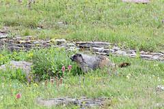 Hoary Marmot_IMG_0268_edited-1 (carla kishinami) Tags: marmots